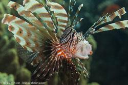 BD-121129-Aqaba-7750-Pterois-miles-(Bennett.-1828)-[Devil-firefish.-Drakfisk].jpg